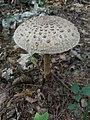 Macrolepiota procera 88227632.jpg
