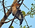 Madagascar Hoopoe (Frank Wouters).jpg