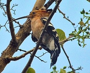 Description de l'image Madagascar_Hoopoe_(Frank_Wouters).jpg.