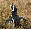 Magellanic Penguin at Otway Sound, Chile (5520704429).jpg