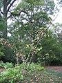Magnolia sieboldii 0zz.jpg