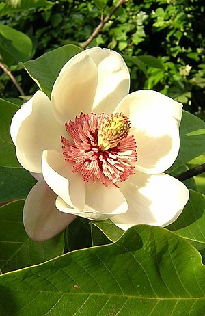 Magnoliales - a Magnolia flower, showing all the parts