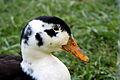 Magpie (duck) drake 2011-08-24 001.jpg