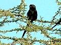 Magpie Shrike (Corvinella melanoleuca) RWD.jpg
