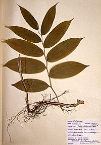 Maianthemum racemosum ssp. racemosum BW-1966-0523-0960.jpg