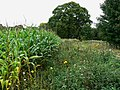 Maize by a byway, near Finstock - geograph.org.uk - 1516365.jpg
