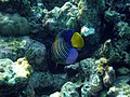 Maldives Royal Angelfish (Pygoplites Diacanthus)199.jpg