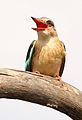 Male Brown-hooded Kingfisher, Halcyon albiventris singing for his mate, Tzaneen area, Limpopo, South Africa (14690551380).jpg