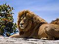 Male Lion on Rock.jpg