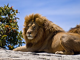 Male Lion on Rock.jpg