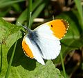 Male Orange Tip. Anthocharis cardamines. - Flickr - gailhampshire (1).jpg