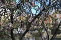 Malta - Mellieha - Triq il-Marfa - Prunus dulcis 01 ies.jpg