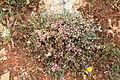 Malta - Siggiewi - Misrah Ghar il-Kbir - Cuscuta epithymum 05 ies.jpg