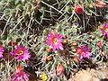 Mammillaria-compressa-20080330-2.JPG