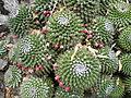 Mammillaria polyedra (5740726198).jpg