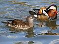Mandarin Duck (Aix galericulata ) RWD3.jpg