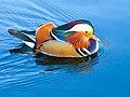 Mandarin drake swimming in St Stephen's Green, Dublin.jpg