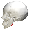 Mandibular angle - lateral view.png