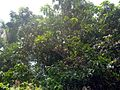 Mango tree with fruits.JPG