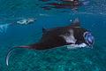 Manta Ray Maldives.jpg