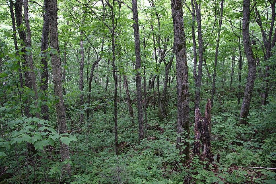 Maple birch2