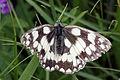 Marbled white butterfly (Melanargia galathea) male.jpg