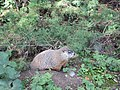 Marmot at Saint Helen's Island in Montreal 04.jpg