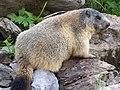 Marmotte sur le chemin des chalets de Sales - panoramio.jpg