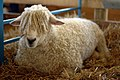 Maryland Sheep seated.jpg