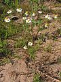 Matricaria chamomilla20140712 028.jpg