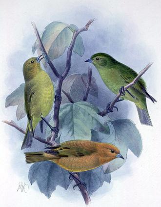 Maui ʻakepa - Illustration
