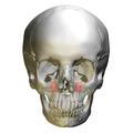 Maxillary sinus skull - anterior view.png