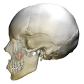 Maxillary sinus skull - lateral view.png