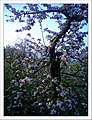 May Red apple blossom Spring - Master Habitat Rhine Valley Photography 2013 - panoramio.jpg