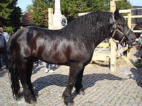 cheval de trait hongrois