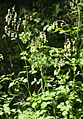 Meadow rue Thalictrum fendleri male plant.jpg