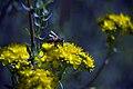 Medicinal plants in khafr-Isfahan-Iran گل ها و گیاهان دارویی در روستای خفر پادنا از توابع استان اصفهان 19.jpg