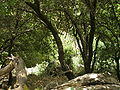 Mediterranean forests Galilee.JPG