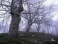Medvednik - selo Rebelj - zapadna Srbija - Bukova šuma - detalj 4.JPG