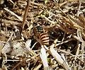 Megachilidae male of Icteranthidium grohmanni (40167079901).jpg