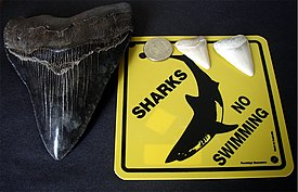 Megalodon tooth great white shark teeth.jpg