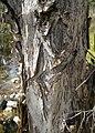 Melaleuca linariifolia bark.jpg