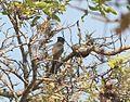 Melaniparus pallidiventris subsp stenotopicus, Mutare, Birding Weto, a.jpg