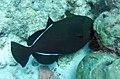 Melichthys indicus Maldives.JPG
