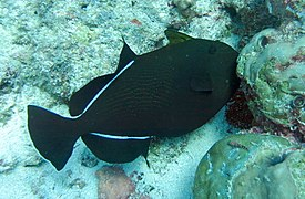 Indian triggerfish (Melichthys indicus)