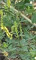 Melilotus officinalis Citroengele honingklaver bloeiwijze.jpg