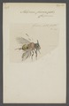 Melipona - Print - Iconographia Zoologica - Special Collections University of Amsterdam - UBAINV0274 045 10 0036.tif