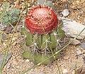 Melocactus bellavistensis ies.jpg