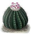 Melocactus curvispinus ssp caesius BlKakteenT92.jpg