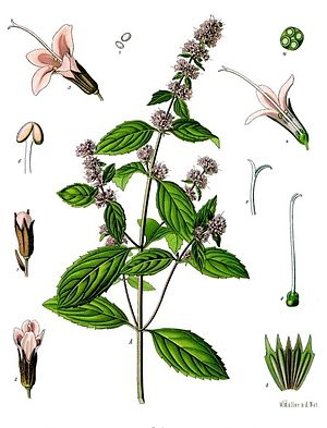 Peppermint - 1887 illustration from Köhlers; Medicinal Plants